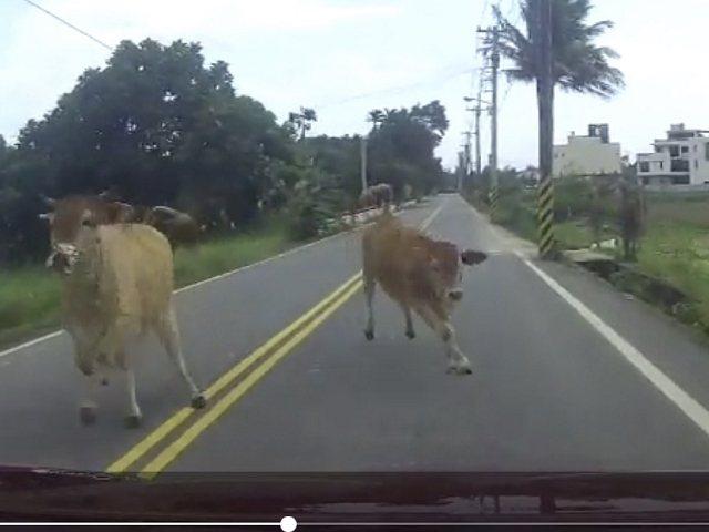 花蓮縣新城鄉昨天下午發生小客車與牛對撞的車禍事故。記者王燕華/翻攝