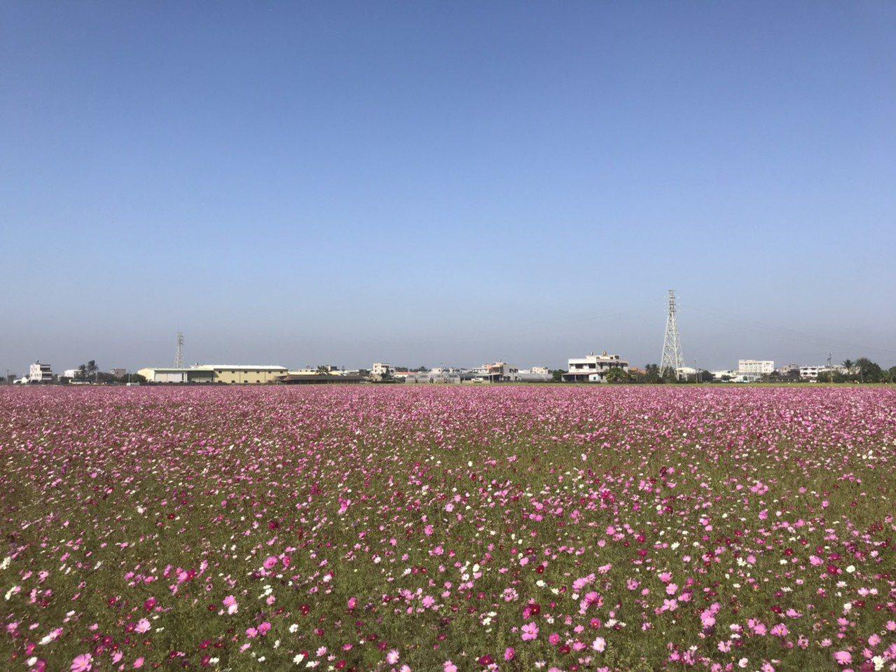 位在高鐵大道旁有機米專區的太保花海,波斯菊現已盛開。記者黃晴雯/攝影
