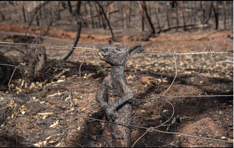 澳洲森林大火延燒4個月,許多野生動物因為逃生過程中遭鐵絲網困住,最終葬身火窟。 ...