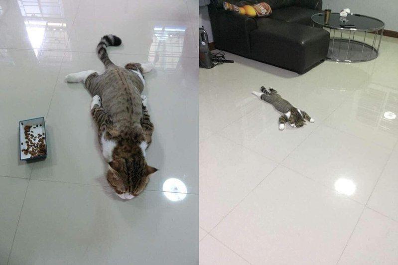 貓咪趴地厭世臉笑翻網友。 圖片來源/爆廢公社公開版