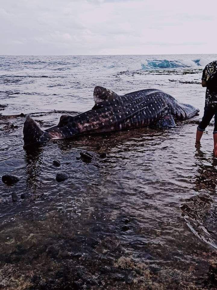 去年底,有網友在臉書就是愛綠島PO文,指綠島睡美人海灘有保育類豆腐鯊擱淺。圖/取...