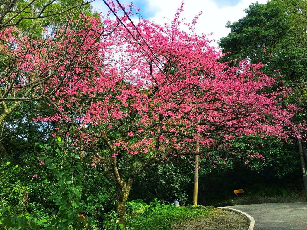 石碇區的二格道路、北47線及47-1線,沿途可見櫻花樹已開花。圖/新北市景觀處提...