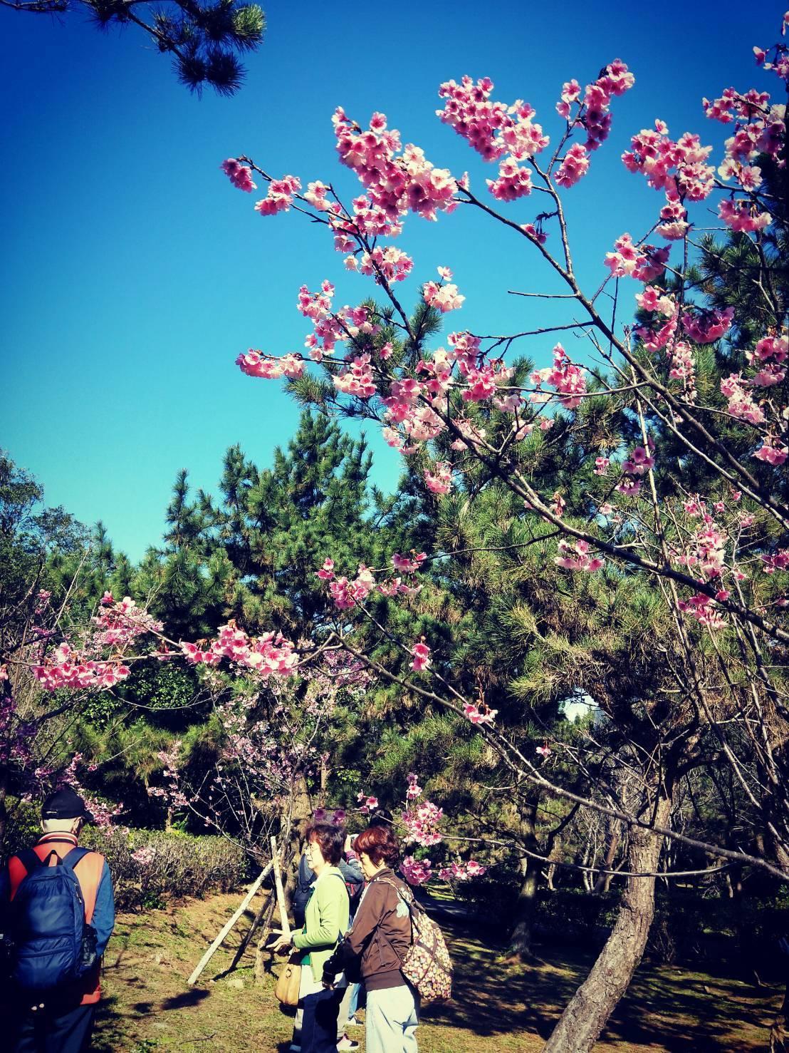 台北市陽明山今年平菁街寒櫻提早1個月出來見客,已達盛開。圖/台北市工務局提供