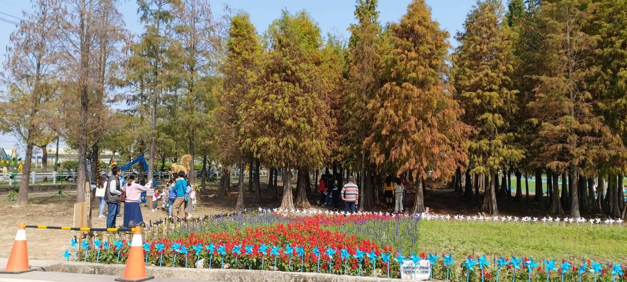 台南六甲落羽松季開幕,已轉紅5成以上。圖/六甲區公所提供