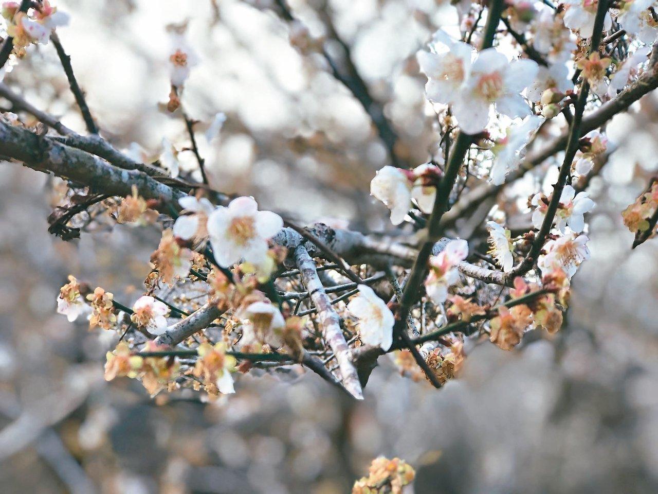台東縣延平鄉鸞山山區梅花盛開,二月初還是賞花期。記者尤聰光/攝影