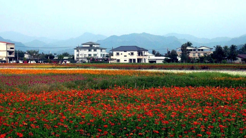 高雄美濃泰安路「彩繪大地」花區占地4公頃,將大地染成五彩繽紛。記者王昭月/攝影