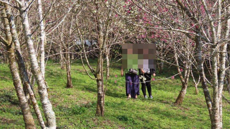荒野保護協會嘉義分會解說員蘇家弘昨天下午到步道記錄生態,發現2名女遊客闖入櫻花園,動手攀折櫻花,蘇制止來不及。圖/蘇家弘提供