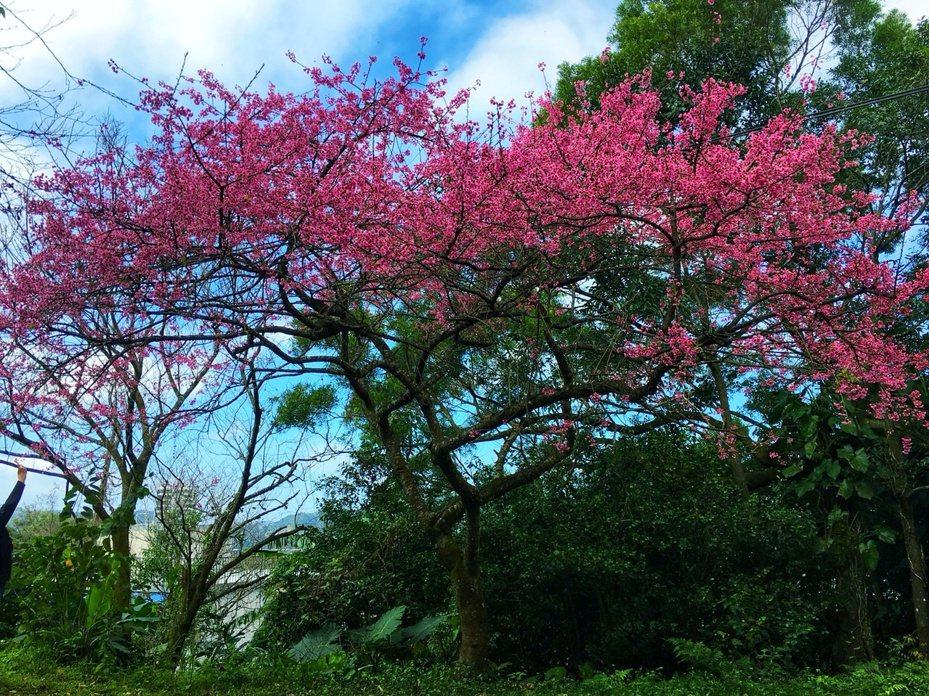 新北市景觀處表示,石碇櫻花從1月中旬農曆年前到春節會達到滿開,是最佳賞櫻期。圖/新北市景觀處提供