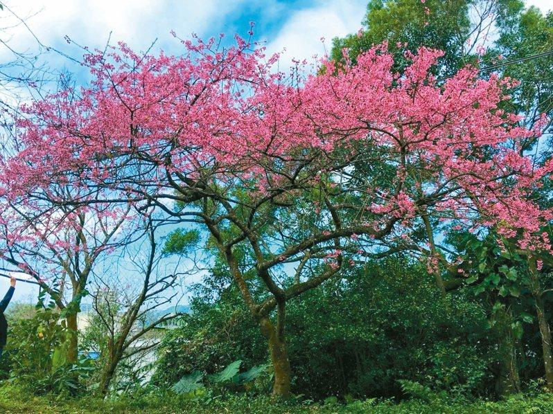 石碇櫻花從1月中旬農曆年前到春節會達到滿開。 圖/新北市景觀處提供