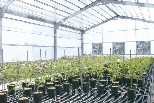茶樹樹苗栽培。