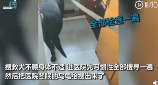 搜救犬不顧身體不適,將獸醫院搜查完璧。圖/取自新浪新聞