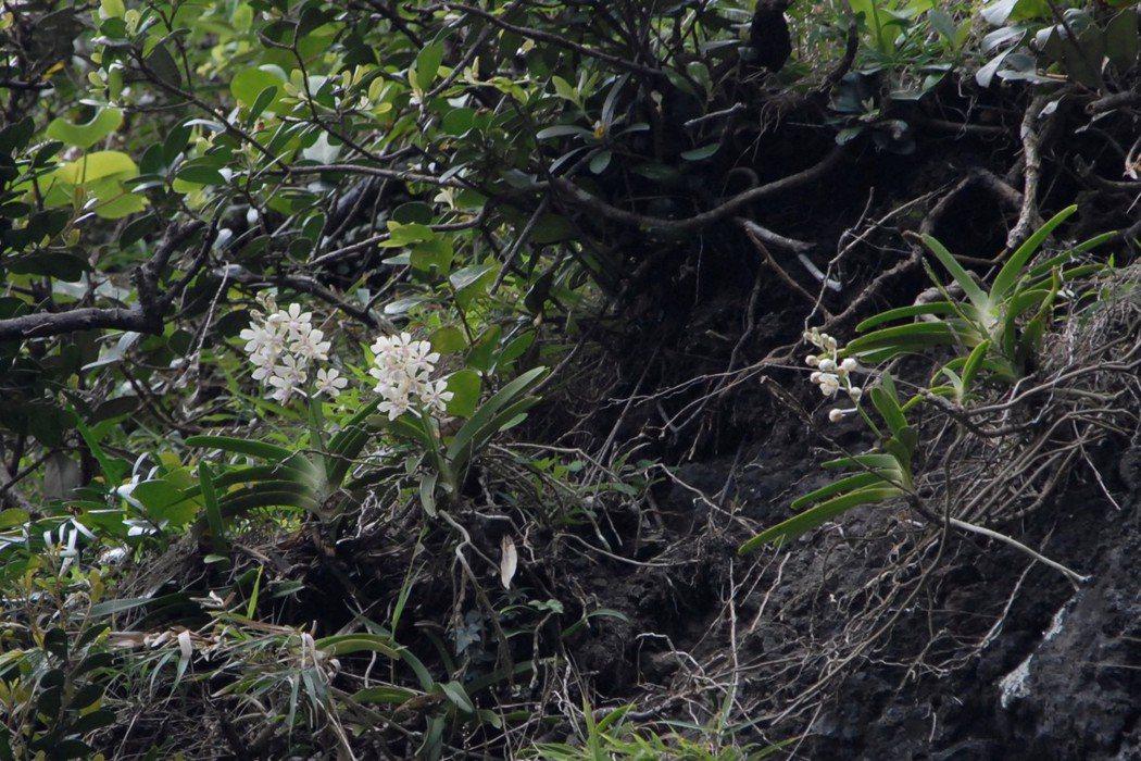 鐘詩文在野外拍到的雅美萬代蘭。 圖/林試所提供