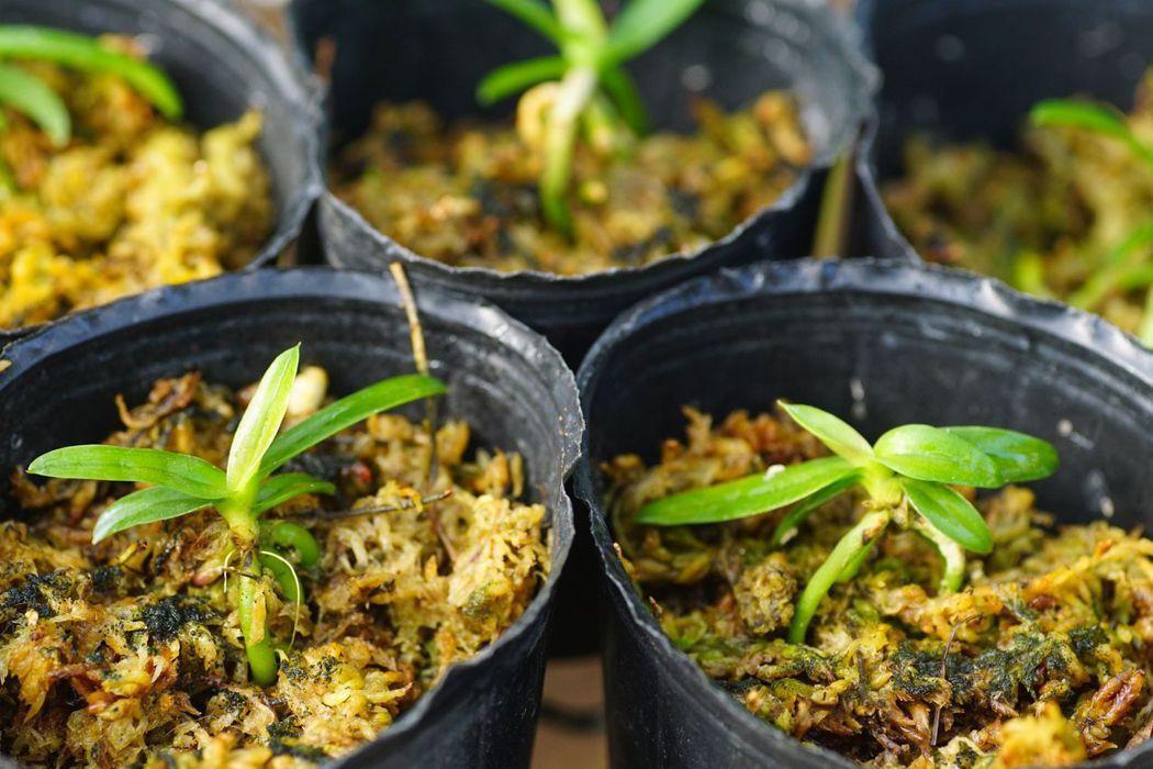 人工無菌播種的雅美萬代蘭實生苗,台北植物園將助其重返原棲地。 圖/林試所提供,李俊緯攝