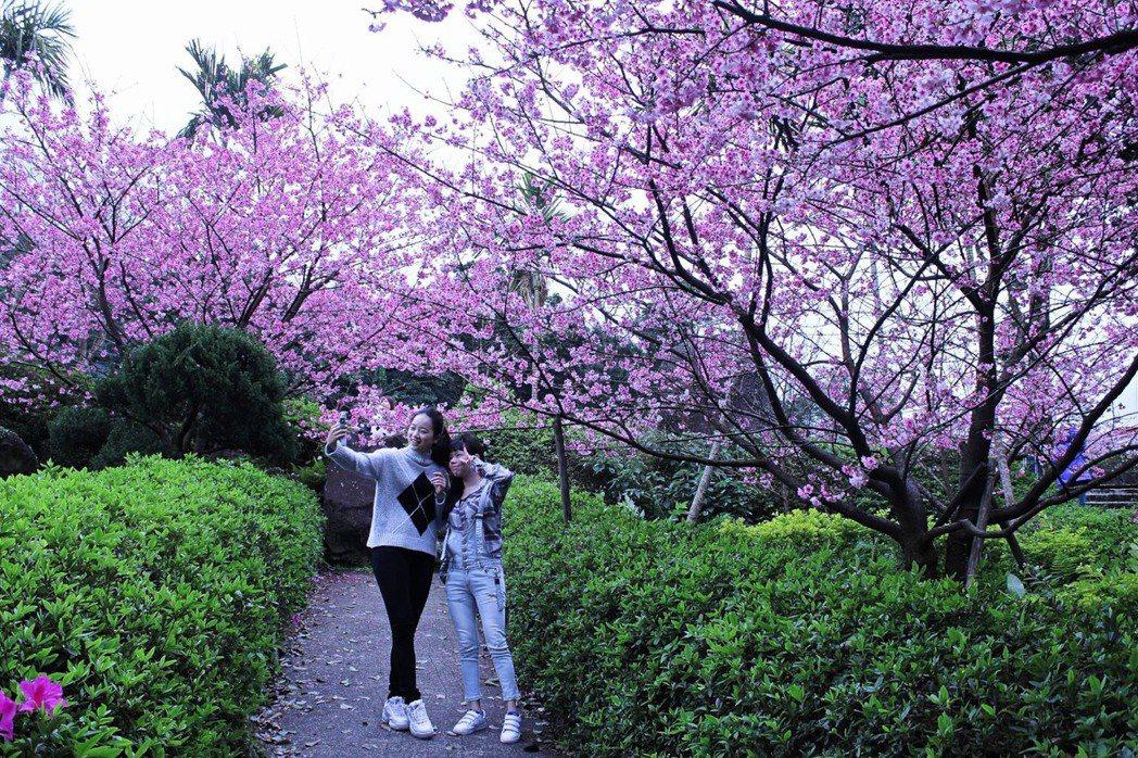 淡水無極天元宮的後山也迎來三色櫻花期,預計過年期間最美,每年一到櫻花季,台灣山櫻...