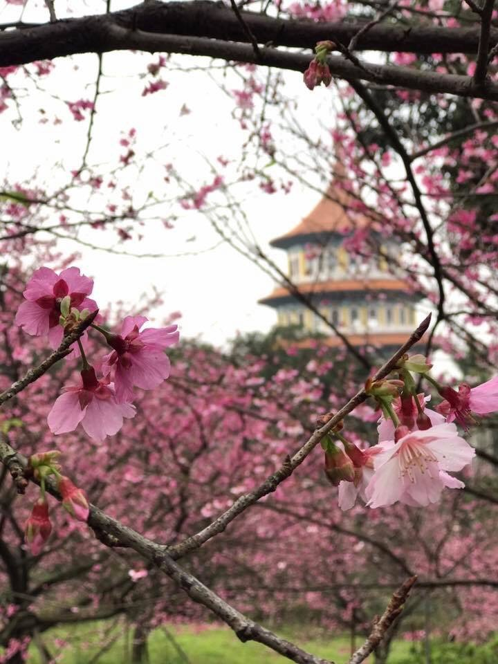 暖冬效益讓天元宮的櫻花提前見客,現成為民眾熱搜景點。在地經營多年的淡水福容飯店,...