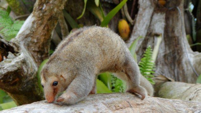 再更小隻的叫侏食蟻獸,體長只有30cm。