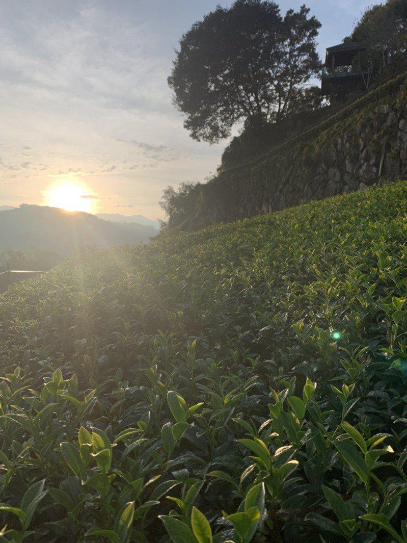 嘉義縣梅山鄉太和村介於梅山鄉太平村及竹崎奮起湖中間,民眾到此可以體驗採茶品茶、欣賞夕陽與雲瀑、賞櫻花,還是大阿里山地區唯二可體驗製作陶杯的地方。圖/許元舜提供