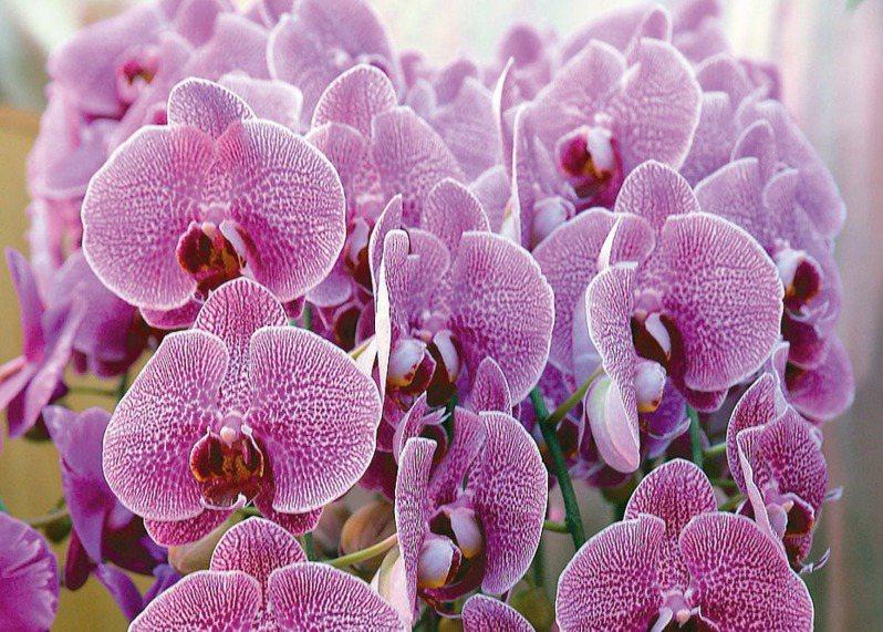 台灣有「蝴蝶蘭王國」美譽,但原生種蝴蝶蘭因大量採集與棲地破壞在野外已非常少見。聯合報系資料照/記者徐兆玄攝影
