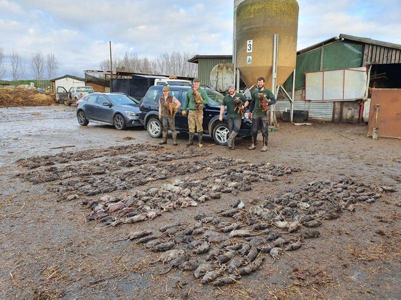 8隻諾福克㹴犬在7小時內便抓到730隻大老鼠,幫當地養豬場解決鼠患。圖擷自臉書粉專 Suffolk and Norfolk rat pack