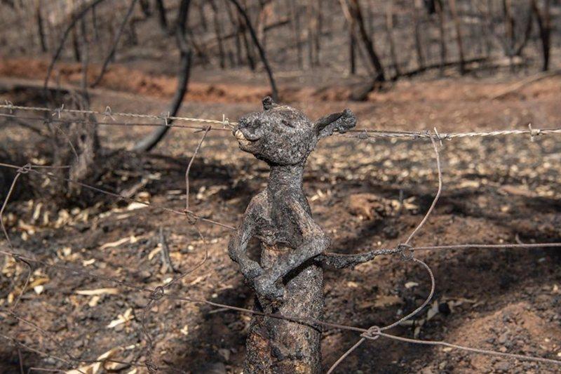 鐵絲網上的袋鼠之死,其實更指向了一個隱藏在大火中的議題。 圖/取自Brad Fl...