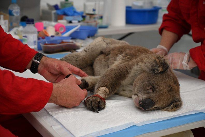 救護人員搶救在大火中受傷的無尾熊。 圖/法新社