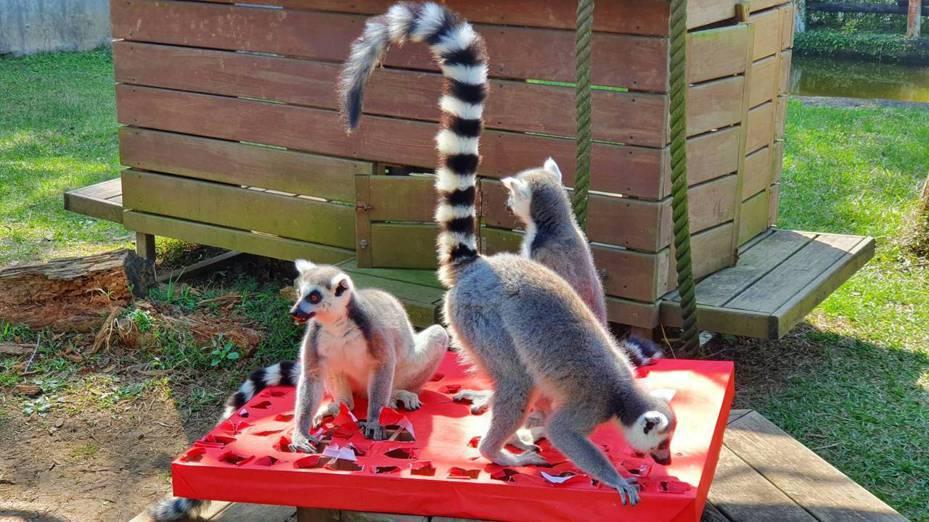 六福村主題遊樂園動物今天開新年趴,園區內環尾狐猴挑戰大玩戳戳樂試手氣,抽中最喜歡的美食。圖/六福村提供