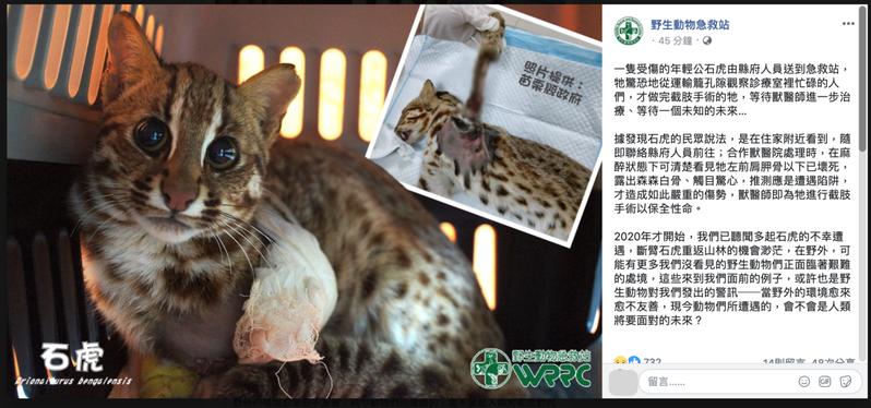 疑似中獸鋏受傷截肢的石虎。圖/取自臉書「野生動物急救站」