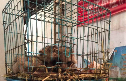 大陸網友曝光,武漢華南海鮮市場曾經販售大量野生動物,以鐵籠鎖住。 (新浪微博照片...