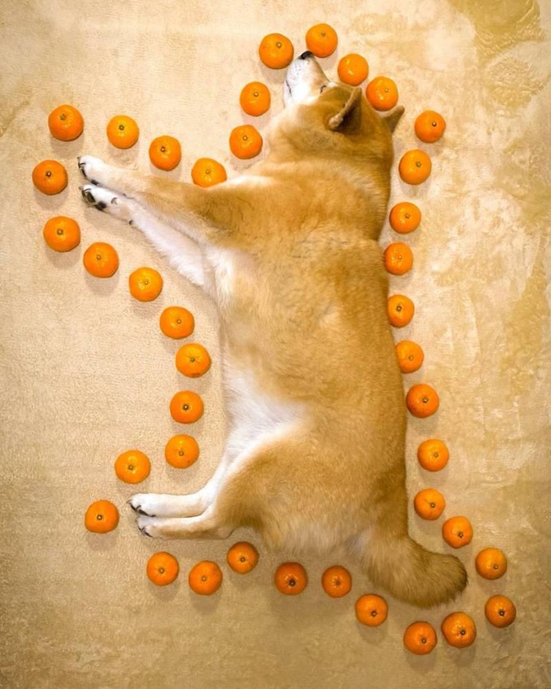 Maru主人最近分享一個計算身長的爆笑方法,只要用上蜜柑沿着狗狗的身型圍一圈,即可知道牠有多少個蜜柑般長。(marutaro2000@Twitter圖片)