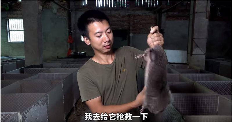 Youtuber「華農兄弟」因拍攝飼養、烹調竹鼠的影片而爆紅,還獲得超過兩億的點閱率。圖擷自「華農兄弟」影片