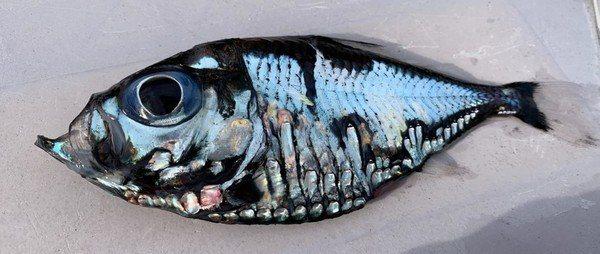 日本網友上傳一隻外型特殊的小魚照片,牠長得就像畢卡索立體主義繪畫。圖擷自Twitter