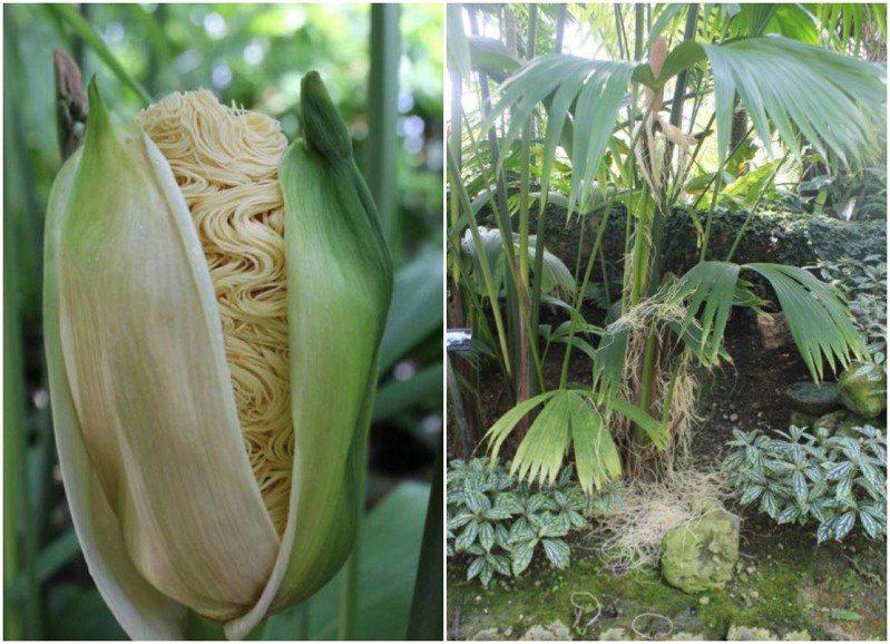 外型類似玉米,但開出來的花又像泡麵,謎樣植物其是巴拿馬草。圖擷自<a href=