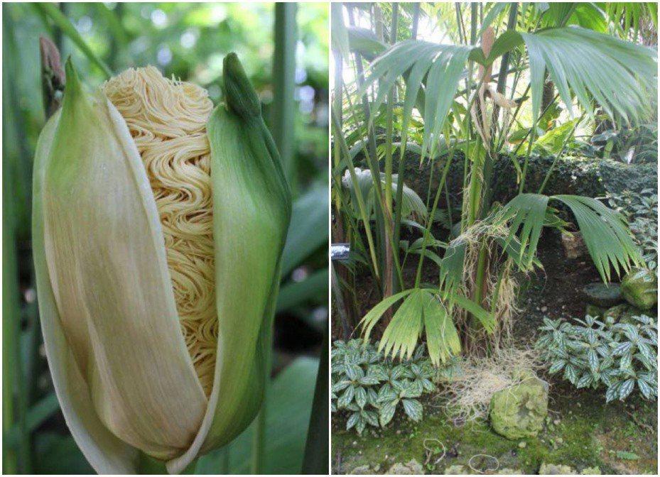 外型類似玉米,但開出來的花又像泡麵,謎樣植物其是巴拿馬草。圖擷自Twitter