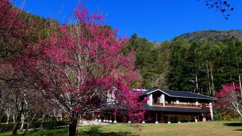 南投縣奧萬大國家森林遊樂區正值櫻盛期,目前櫻花綻放約2成,春節期間剛好是欣賞櫻花的最佳時機。圖/南投林管處提供