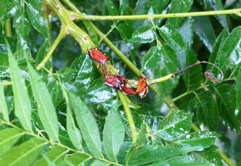 荔枝椿象是以荔枝、龍眼、欒樹等為寄主的害蟲,經歷冬季休眠期後開始活動。本報資料照片