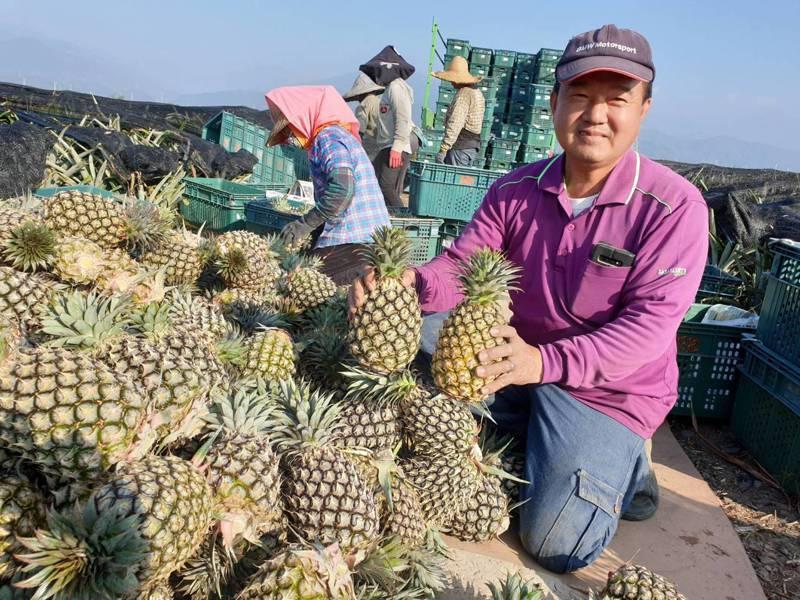 陳家展在屏東縣枋寮鄉承租150公頃台糖農地種植鳳梨,他和40多名工人每天通勤往返,因通過產銷履歷認證,並逐步採有機栽植,品質受到水果販商肯定,幾乎都外銷大陸,訂單還要排隊。記者潘欣中/翻攝