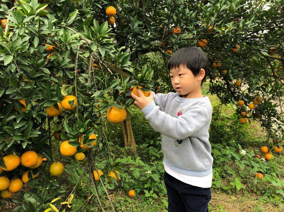 新竹縣峨眉農會貼心幫民眾整理鄉內採果園名單,歡迎親子一起來體驗採果樂,將象徵大吉大利的金黃柑桔帶回家。圖/峨眉農會提供