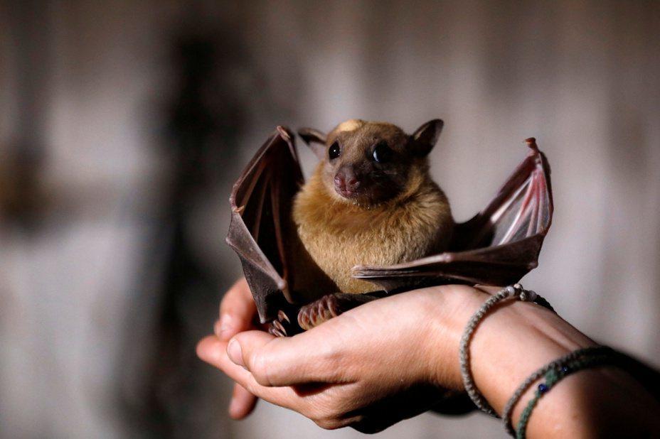 中國科學家21日發表最新研究報告,指武漢肺炎病毒的宿主可能是果蝠。路透