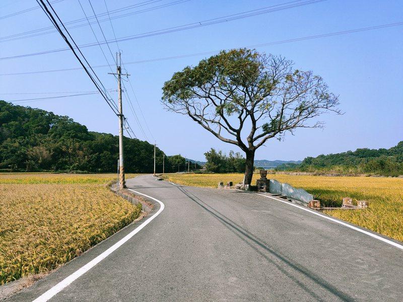 西湖鄉的黃金一路,場景酷似金城武樹。圖/苗栗縣西湖鄉休閒產業發展協會提供