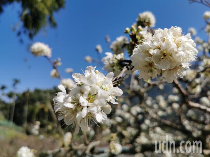 嘉義縣梅山鄉近期李花盛開,李樹上都布滿粉白花團。記者卜敏正/攝影