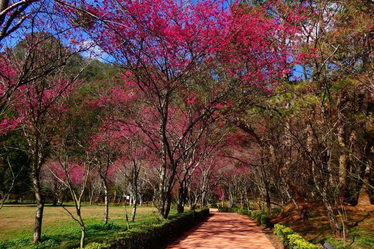 春節期間,正好是奧萬大的櫻花旺季。圖/擷取自林務局官網