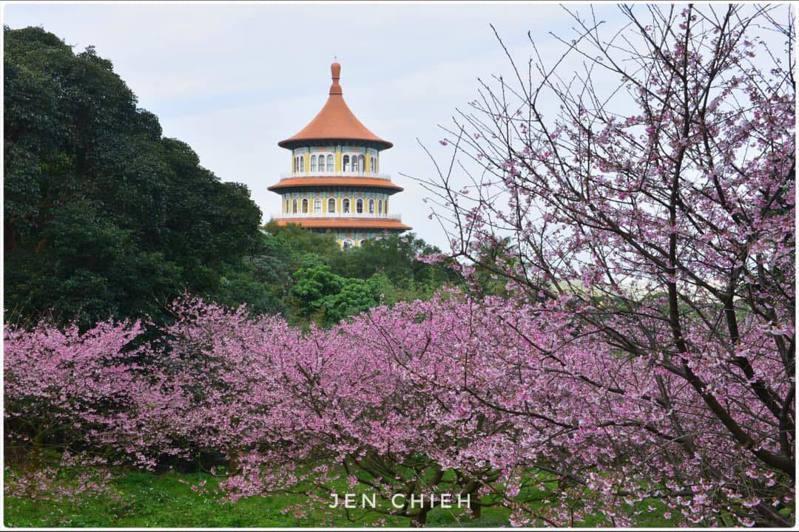 淡水天元宮後山的三色櫻今日花況。圖/網友Jen chieh提供