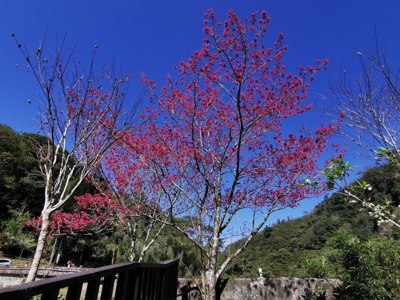 嘉義縣竹崎鄉166縣道圓潭遊客中心旁櫻花已滿開。記者卜敏正/攝影