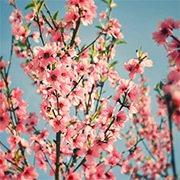 想招桃花運,就到樹下繞圈圈吧。圖/摘自香港旅遊發展局網站