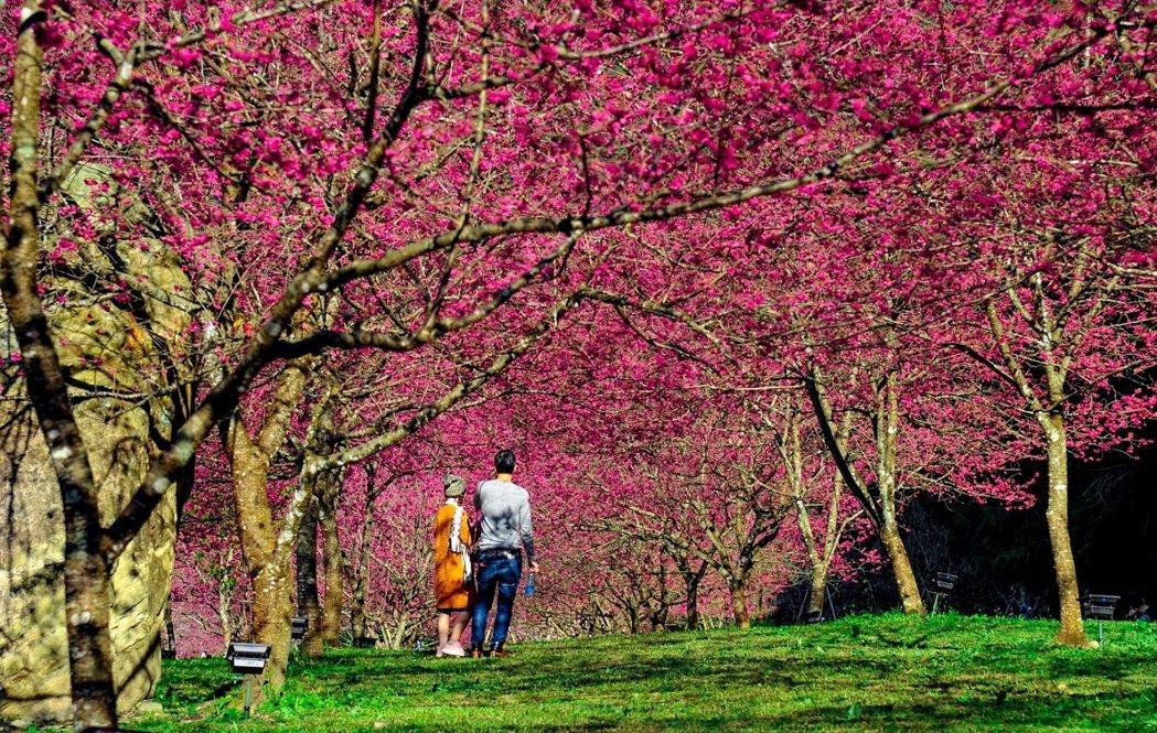 九族文化村內種植近約5,000棵的櫻花,是全台密度最高的櫻花名所(九族文化村)。...