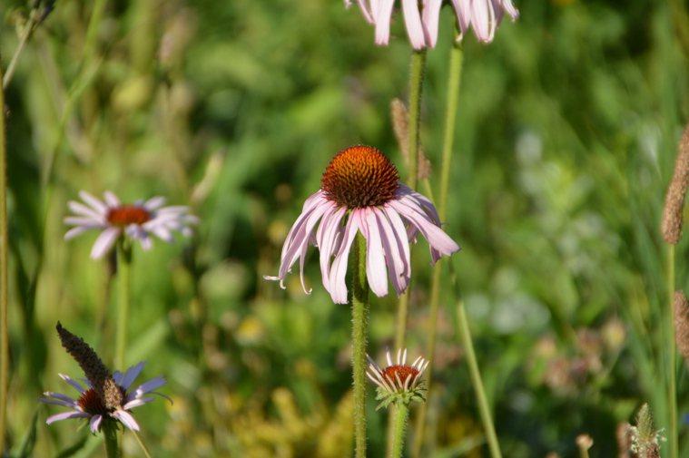 紫錐花常被認為可強化免疫系統。圖/郭姿均提供