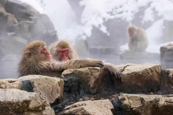 地獄谷野猿公苑以「雪猴」的身影而聞名於世。圖/JR東日本提供