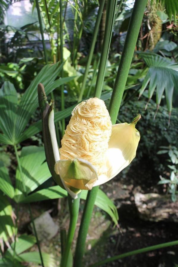 日本網友貼出巴拿馬草的花穗,因形似拉麵而引起話題。圖/Twitter