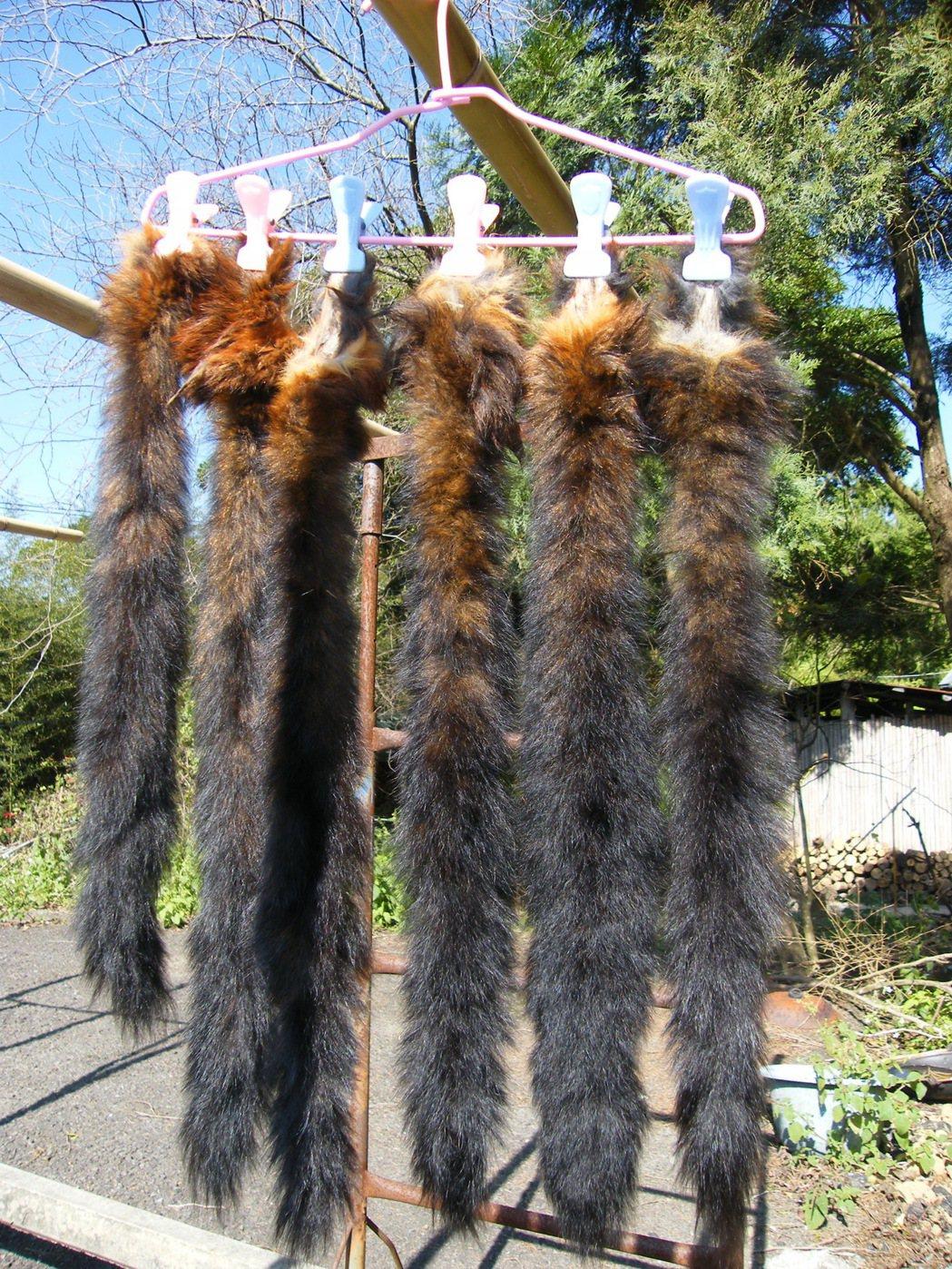飛鼠宰殺後,毛茸茸的尾巴曬乾可以做圍巾或鑰匙圈。圖/聯合報系資料照片