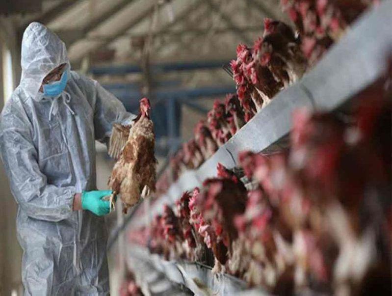 湖南爆發H5N1禽流感。 圖/取自星島網